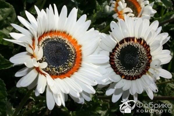 ✅ венидиум фото. венидиум: выращивание из семян, когда сажать - живой-сад.рф