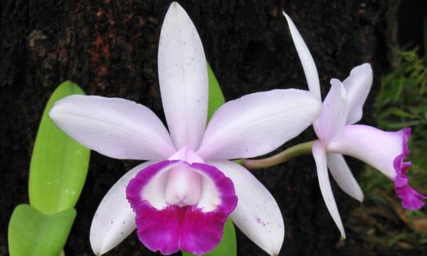 Орхидея каттлея - уход в домашних условиях, фото, цветки