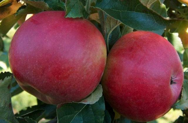 Описание сорта яблони спартан: основные характеристики и особенности ухода – dachampion