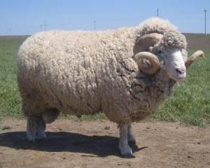 Овца советский меринос: описание породы, фото, видео, характеристика