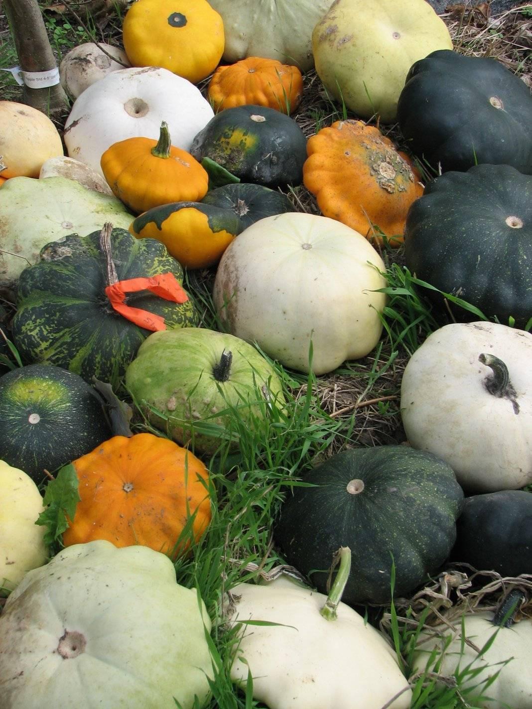 Секреты выращивания патиссонов в открытом грунте, как сажать и ухаживать за овощем