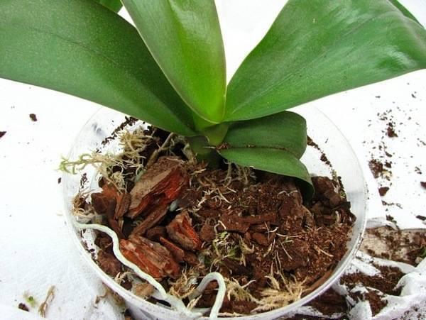 Кора для орхидей: подготовка субстрата для цветов своими руками