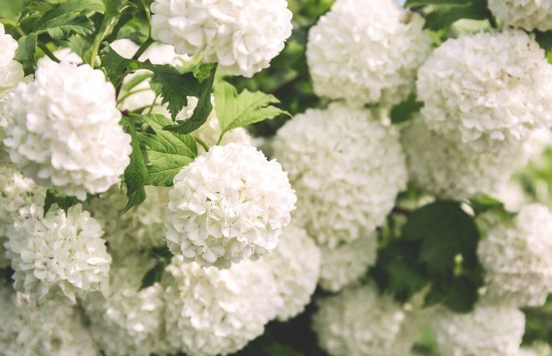 Гортензия и калина бульденеж: в чём заключаются отличия растений