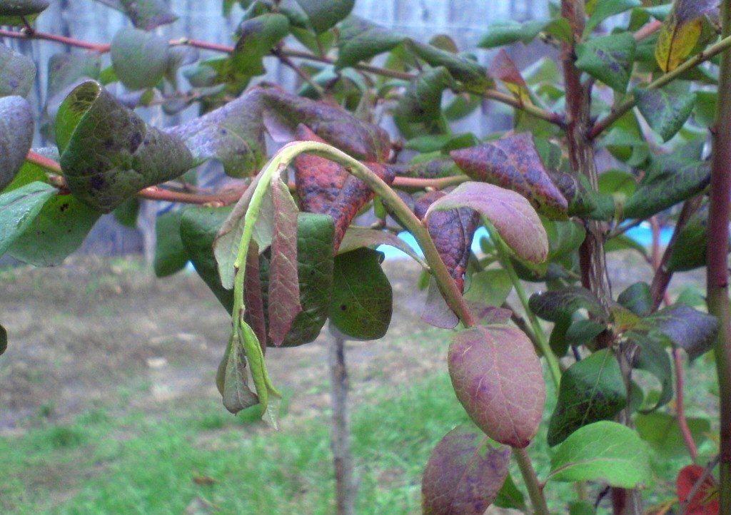 Болезни и вредители голубики садовой