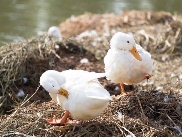 Утки черри-велли (26 фото): описание породы, выращивание утят, отзывы