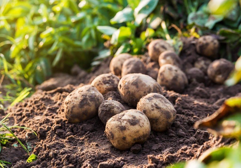 Картофель ласунок: описание и характеристика сорта, отзывы