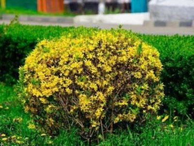 Форзиция: цветущие кустарники, посадка и уход в открытом грунте, размножение