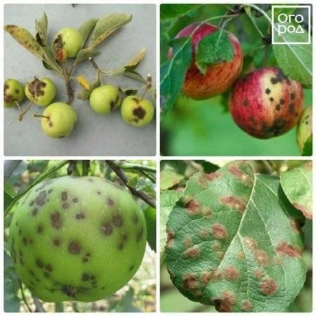 Парша на яблоне: фото, описание и лечение болезни