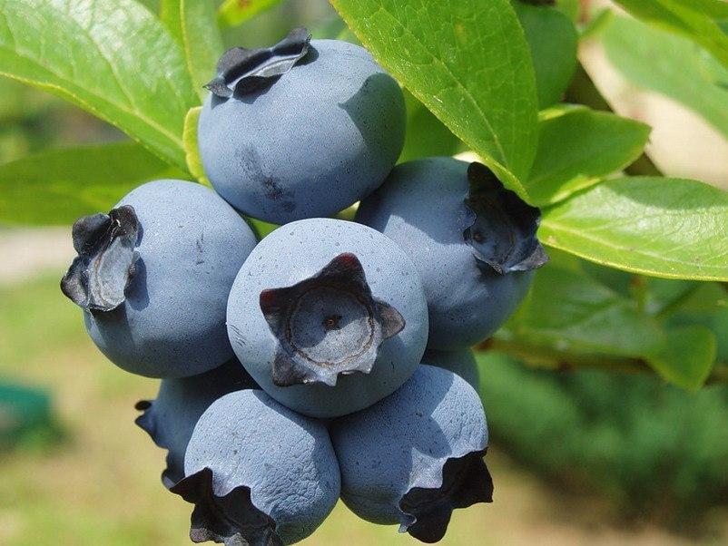 Голубика блюкроп (bluecrop): описание сорта, фото, отзывы, опылители, посадка и уход, видео