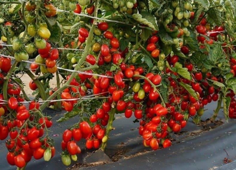 Сорт томата московский деликатес: фото, отзывы, описание, характеристики.