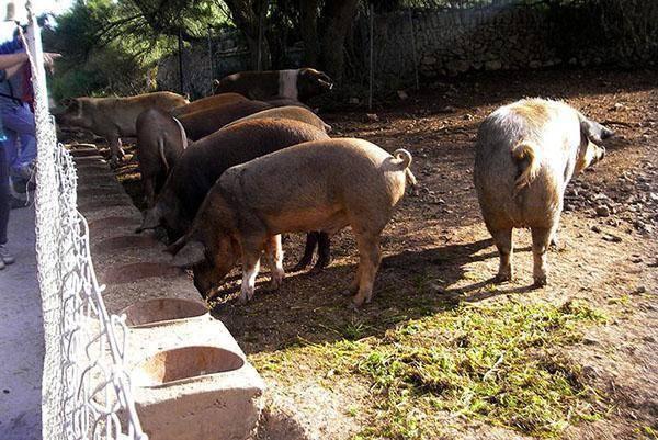 Разведение свиней как бизнес, особенности и перспективы развития. | cельхозпортал