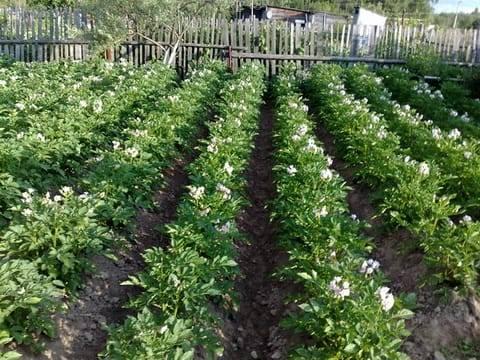 Растет ли картофель после засыхания ботвы, как определить сроки уборки урожая