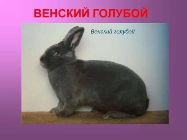 Венский голубой кролик: характеристика и особенности породы