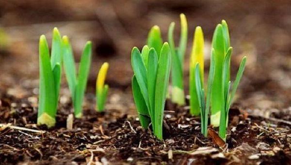 Желтеет чеснок на грядке весной, в мае: причины | спутниковые технологии