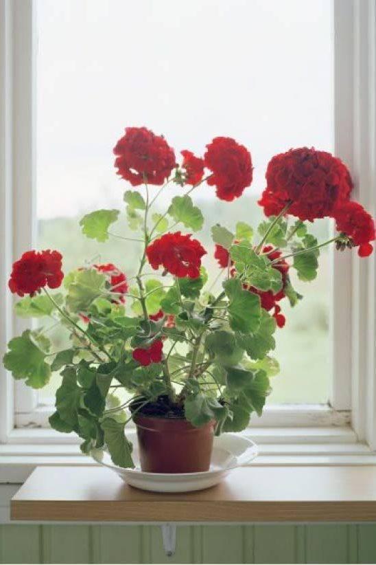 Как правильно ухаживать за геранью в домашних условиях начинающим цветоводам
