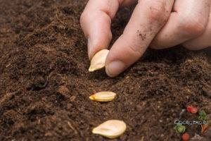 Как сажать кабачки в грунт: рекомендации