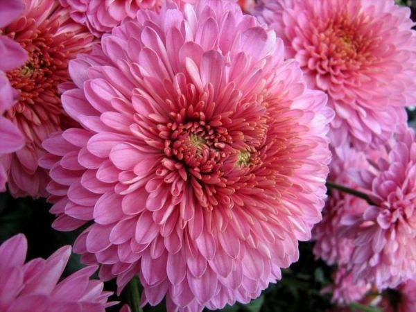Как укрыть хризантемы на зиму. особенности подготовки хризантем к зиме   дачная жизнь