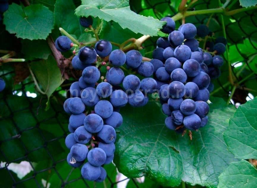 Виноград эверест описание сорта фото отзывы - скороспел