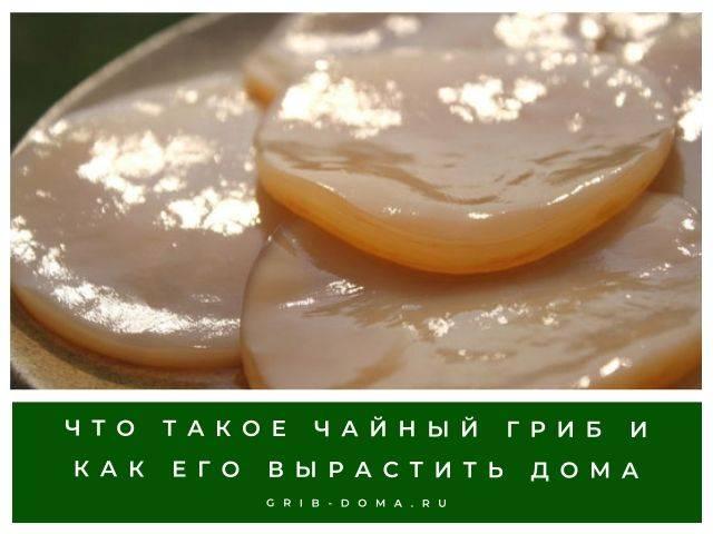 Целебная сила чайного гриба