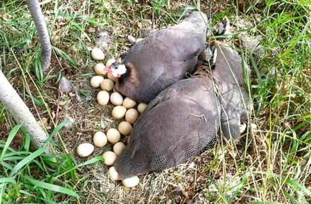 Когда начинают нестись цесарки в домашних условиях: сроки, как несутся, сколько яиц в кладке