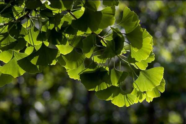 Выращивание дерева гинкго билоба на дачном участке: особенности