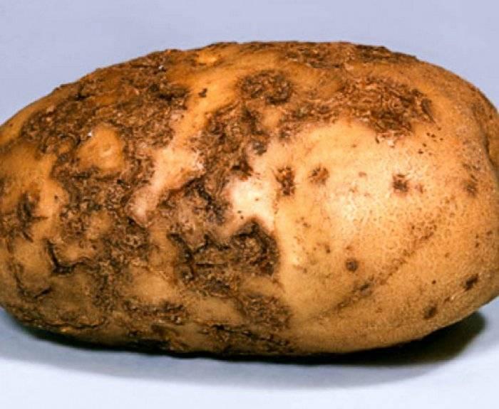 Парша картофеля: меры борьбы, описание, лечение