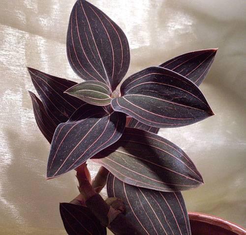 Роскошная листва «драгоценных орхидей»