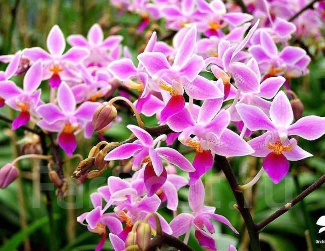 Описание орхидеи фалонопсис эквестрис - мыдачники