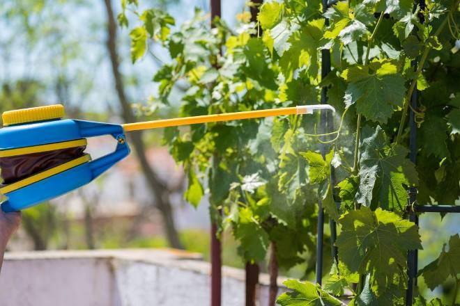 Как и чем укрыть виноград на зиму