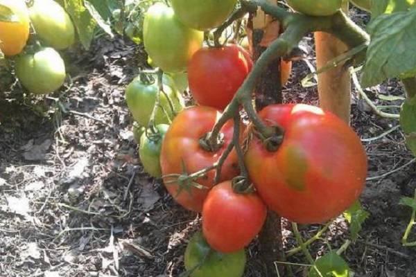 Томат розовые купола f1: описание, урожайность, отзывы, фото