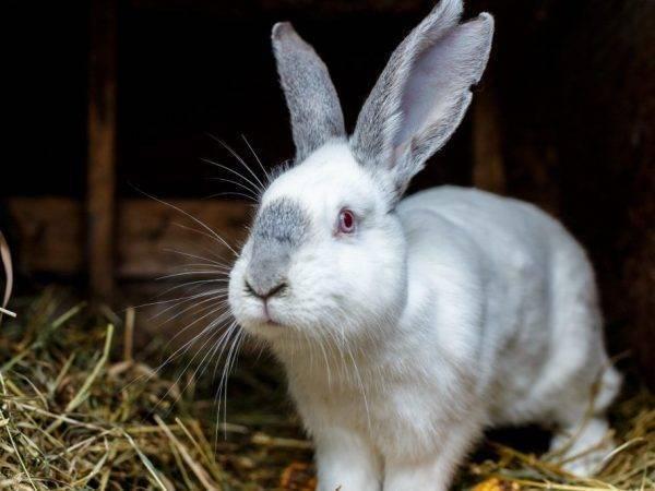 Печень кролика: польза и вред