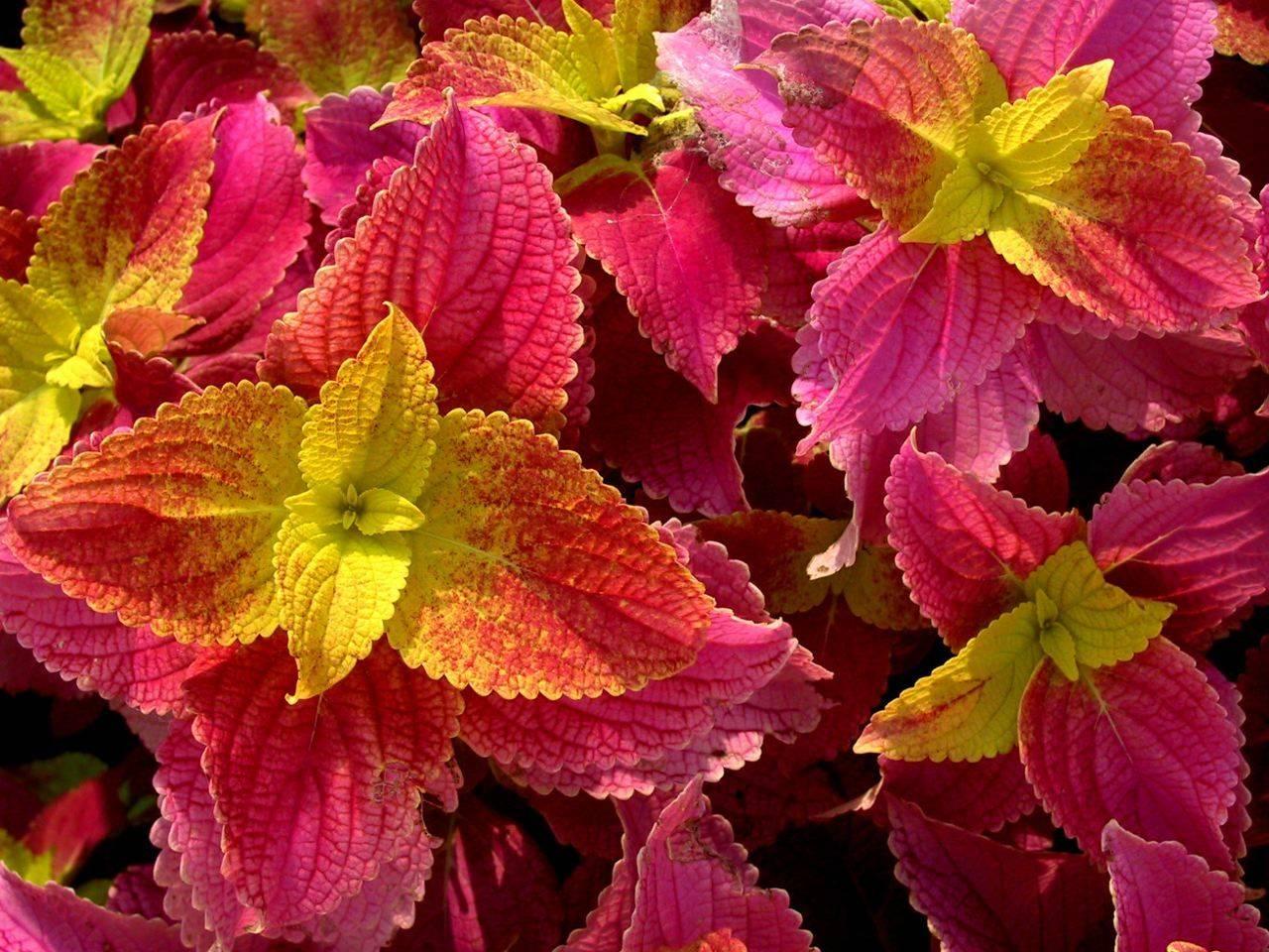 Колеус выращивание из семян в домашних условиях как и когда сеять
