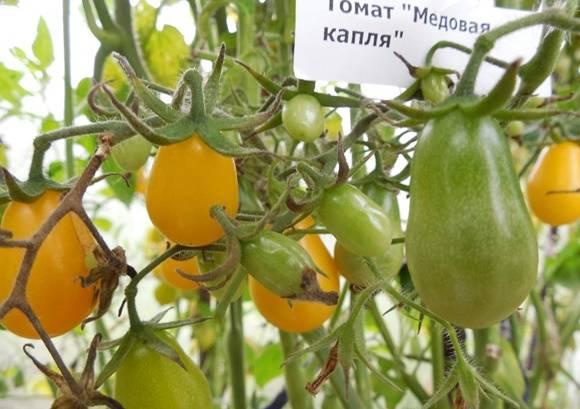 Томат медовая капля: характеристика и описание, урожайность сорта, фото и отзывы