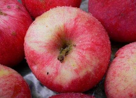 Яблоня мельба описание сорта, достоинства, недостатки, отзывы