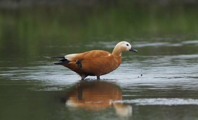 Хохлатая пеганка — утка с выдающейся историей