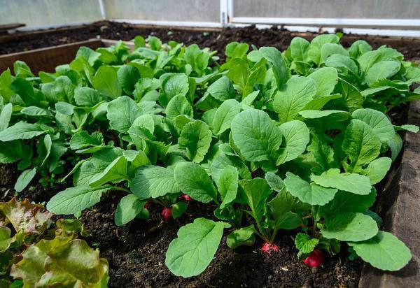 Выращивание редиса зимой в теплице: посадка и уход   садоводство и огородничество