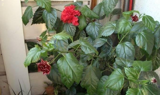 Почему у розы желтеют и опадают листья. «перекорм или недокорм» —, какие удобрения нужны розе