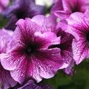 Петуния: посадка и уход в открытом грунте, как правильно выращивать цветок на улице и что нужно делать зимой, весной, осенью и летом, в частности, в августе?дача эксперт