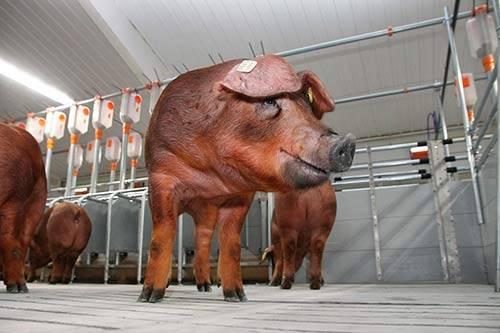 Методы селекции свиньи