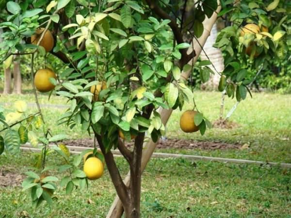 Помело: условия выращивания дома