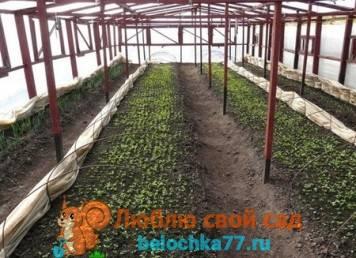 Выращивание редиса в защищенном грунте или витамины круглый год
