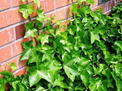 Плющ садовый вечнозеленый – как сажать, уход, размножение и выращивание