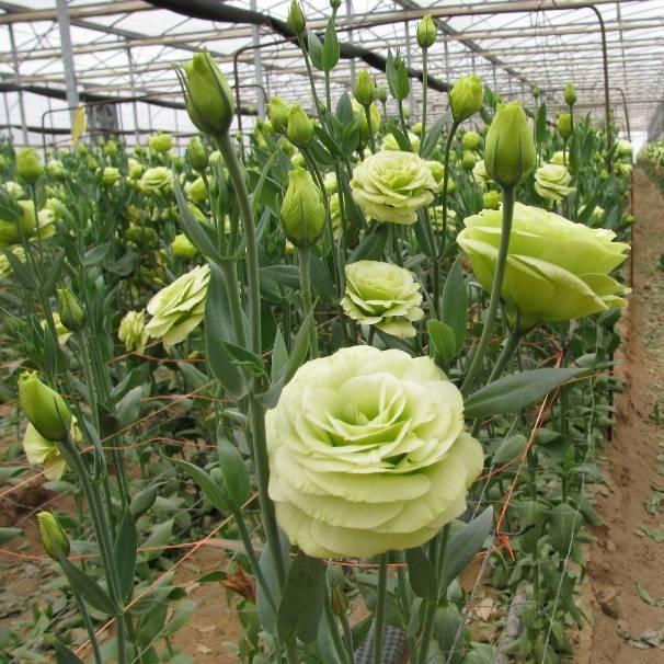 Выращивание эустомы домашней или комнатной из семян в горшке, посадка и уход