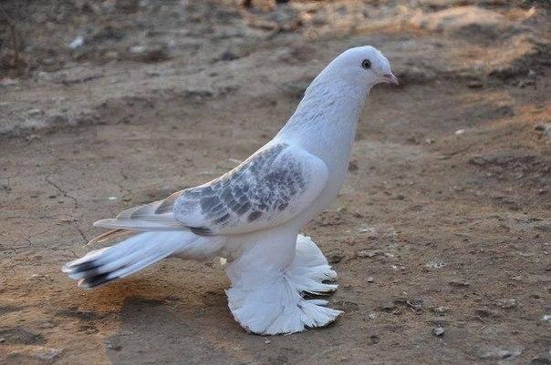 Статные породы голубей россии и их описание