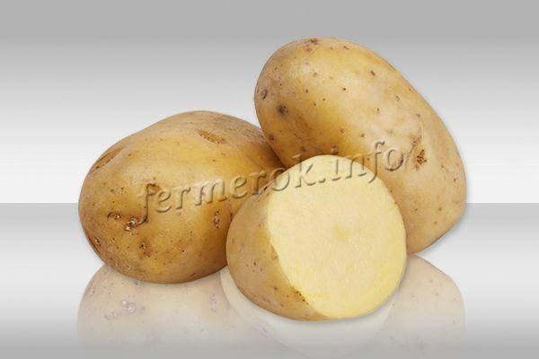 Картофель коломбо: характеристика сорта, описание, отзывы