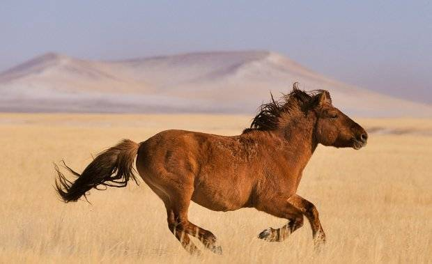 Монгольская лошадь: история, характеристика, вес и особенности ухода