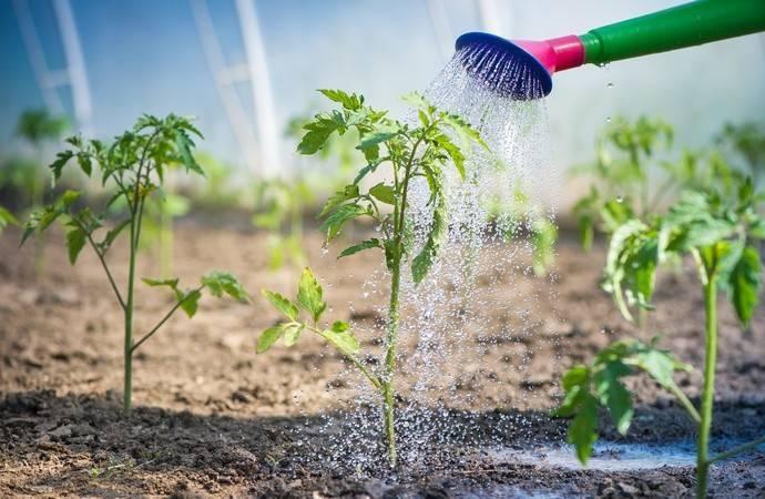 Как часто поливать рассаду помидоров на подоконнике, чтобы она была крепкой и не вытягивалась