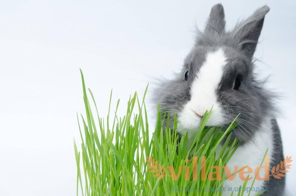 Можно ли давать кроликам рапс?