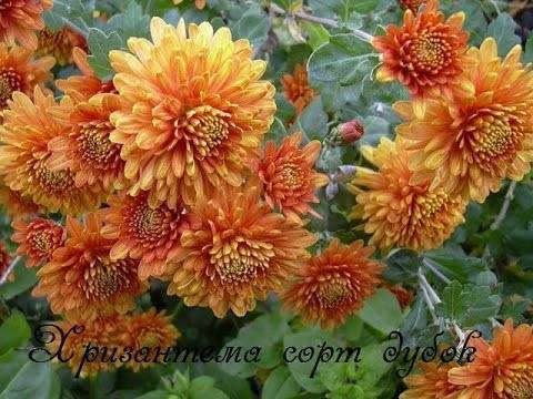 Цветы дубки (хризантема): уход, размножение, выращивание + фото