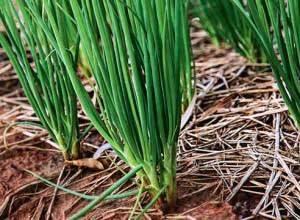Как вырастить лук дома – 2 пошаговые инструкции с фото